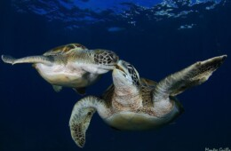 fotos de tortugas en Tenerife buceo