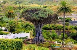 Arbol de Icod de los Vinos Tenerife Islas Canarias