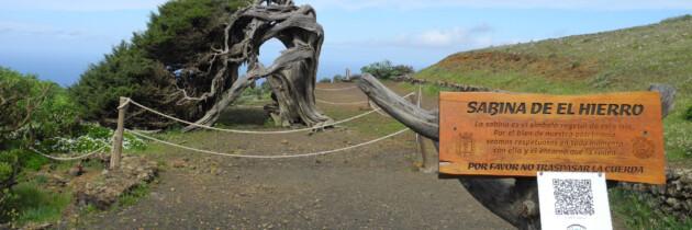arbol la sabina en el hierro fotos del sabinar lugares para visitar en las islas canarias senderismo naturaleza españa