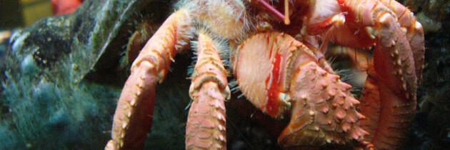 cangrejo ermitaño crustaceos en canarias fotografias especies acuaticas españa tenerife fuerteventura