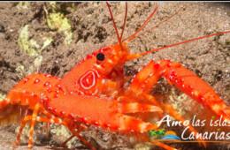 crustaceos imagenes cigala canaria especies marinas islas canarias marisco