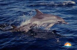 delfines Buceo y marinas fotos de Tenerife