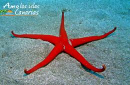 fotos de equinodermo estrella de mar islas canarias tenerife gran canaria fuerteventura el hierro