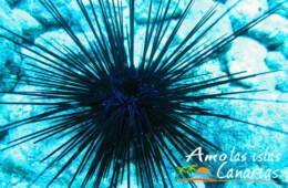fotos de erizo de mar negro animales acuaticos fondales marinos de las islas canarias españa