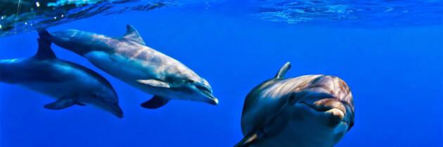 fotos de las especies de cetaceos en canarias delfines en el atlantico especies marinas especies acuaticas