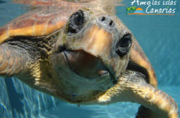 fotos de tortugas en canarias especies acuaticas atlantico tenerife fuerteventura lanzarote islas canarias imagenes