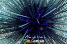 fotos del erizo diadema en canarias equinodernos del atlantico españa europa
