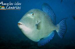 gallo cochino aguas canarias especies acuaticas fotos de fondos marinos tenerife lanzarote