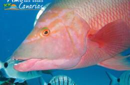 imagenes de la fauna marina de canarias pez oseo pejeperro peces de tenerife el hierro la gomera fuerteventura españa