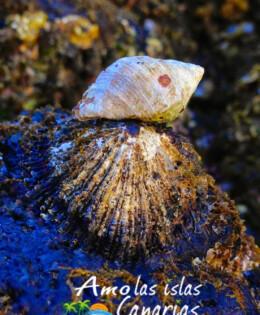 lapas burgados en las costas de canarias crustaceos imagenes oceano atlantico