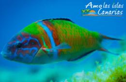 peces en canarias peje verde gelde atlantico especies marinas en canarias imagenes acuaticas
