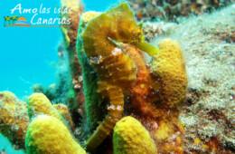 pez oseo caballito de mar en islas canarias fotos especies marinas atlantico amo las islas canarias fondos marinos