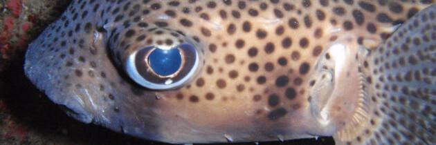 tamboril espinoso especies marinas en canarias fotos acuaticas endemicas amo las islas canarias